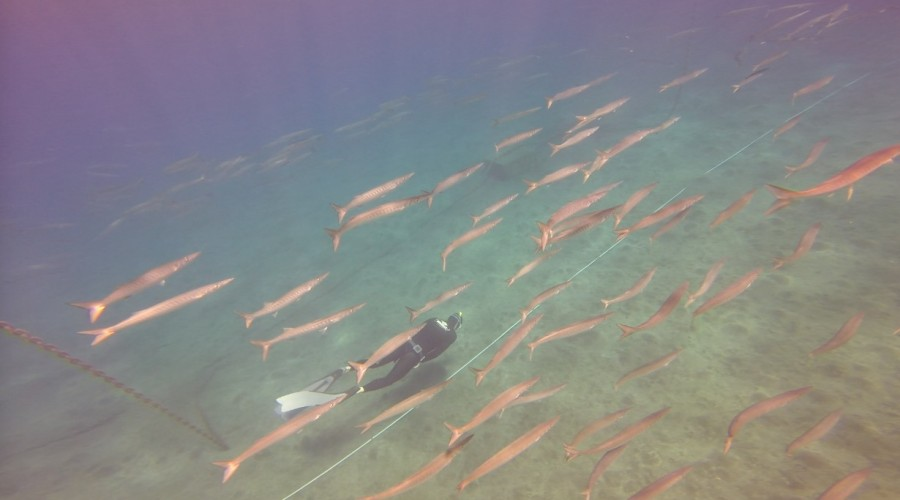 Catch of the Day – Lion & The snoopy Barracudas